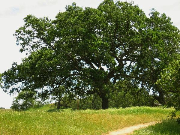 сонник кроны деревьев зеленые